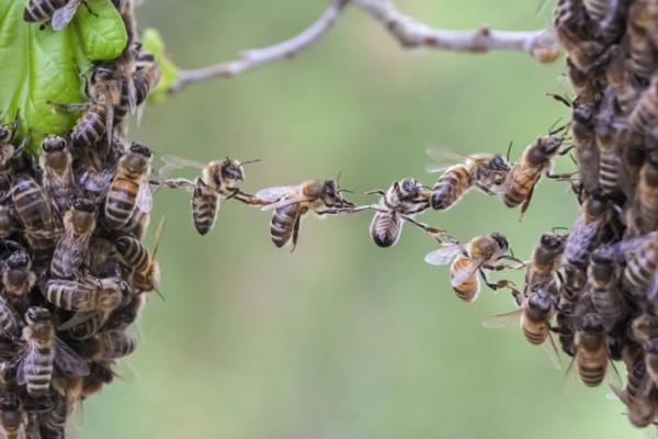 bijen samenwerken